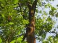 Aquillaria Crassna tree (25)